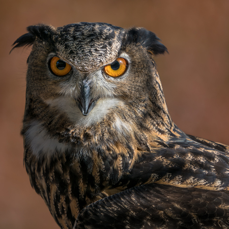 A Frontal Portrait of an Eurasian Eagle Owl Against a Blurred Background