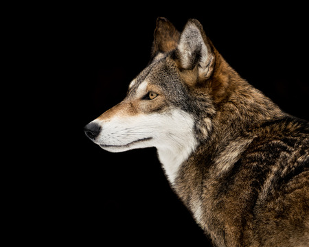 Profile Portrait of Red Wolf Against Black Background Stockfoto
