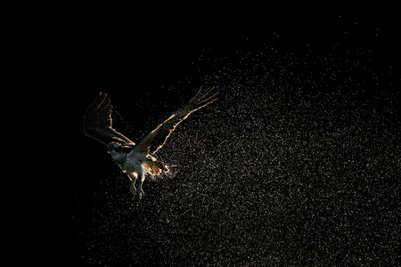 Osprey in Flight Shaking Off Water After Diving in Water Stockfoto
