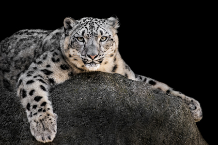 Frontal Portrait of a Snow Leopard Against a Black Background Stock Photo - 103522242