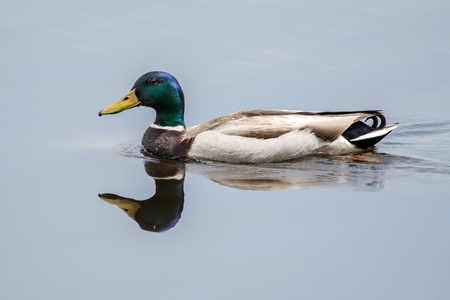 A Profile Portrait of a Male Mallard Duck in the Water with a Reflection Stock Photo - 103522268