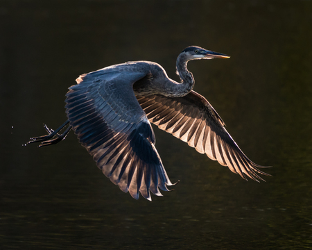 Backlit Great Blue Heron Taking off from Water Stock Photo - 103521649