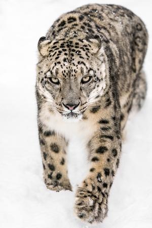 Frontal portrait of Snow Leopard walking in snow
