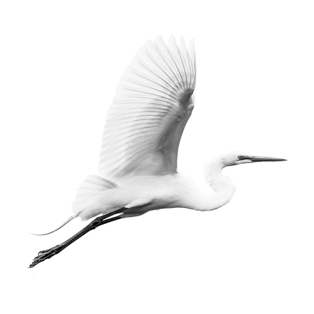Great Egret in Flight Against White Sky Stockfoto