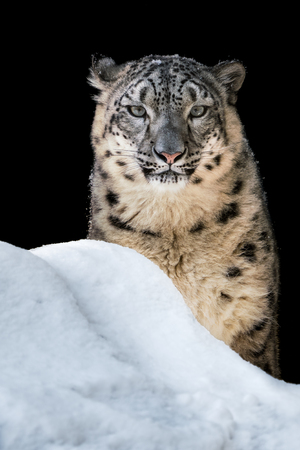 Portrait of a Snow Leopard Sitting in the Snow Stock Photo - 103521734