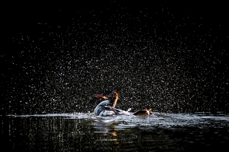 A Backlit Hooded Merganser Duck Bathing and Splashing in Water