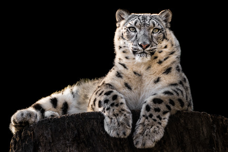 Frontal Portrait of Snow Leopard Against Black Background