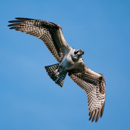 Osprey in Flight Against Blue Sky