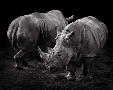 A Pair of Rhinos Against a Black Background 版權商用圖片