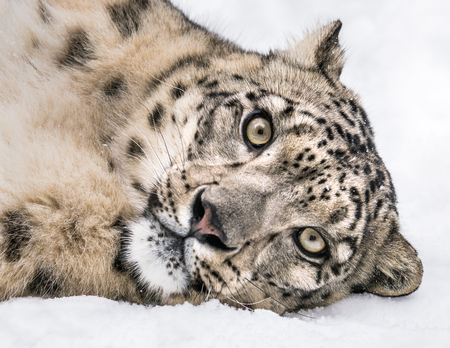 Playful Snow Leopard Rolling in the Snow Stock Photo - 99355911