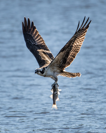 Osprey in Flight With a Freshly Caught Menhaden Stock Photo - 99351408