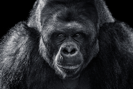 Black and White Frontal Portrait of a Western Lowland Gorilla 스톡 콘텐츠