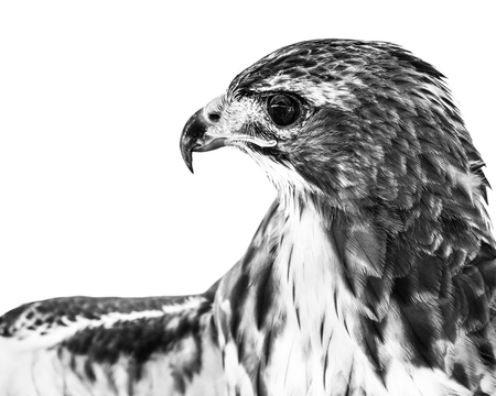 Profile Portrait of a Red-Tailed Hawk Against a White Background Stock Photo