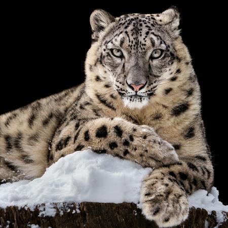 Frontal Portrait of Snow Leopard Against Black Background
