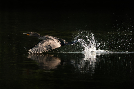 A Coromorant Splashing and Taking Off Over Water