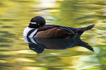 Profile Portrait of a Hooded Merganser in Reflected in Water Stockfoto