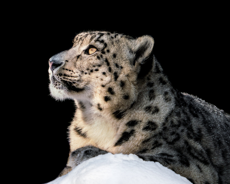 Portrait of a Snow Leopard Sitting in the Snow and Basking in the Sun Stock Photo