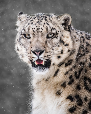 Frontal Portrait of a Snow Leopard in a Snow Storm Against a Mottled Gray Background Stock Photo - 99362880