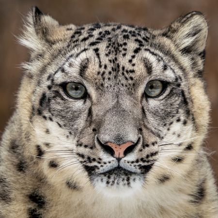 Frontal Portrait of Snow Leopard Against Coloful Background Stock Photo