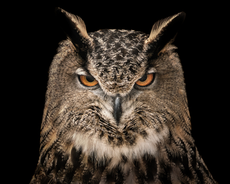 A Frontal Portrait of an Eurasian Eagle Owl Against a Black Background