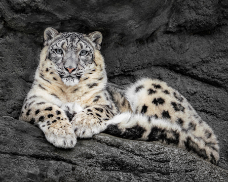 Frontal Portrait of Snow Leopard Resting on a Rock Ledge Stock Photo