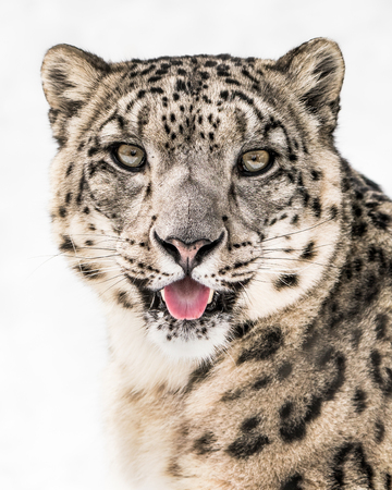 Frontal Portrait of Snow Leopard Sticking Its Tongue Out Against a White Background