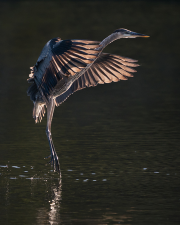 Backlit Great Blue Heron Taking off from Water Stock Photo - 100212652