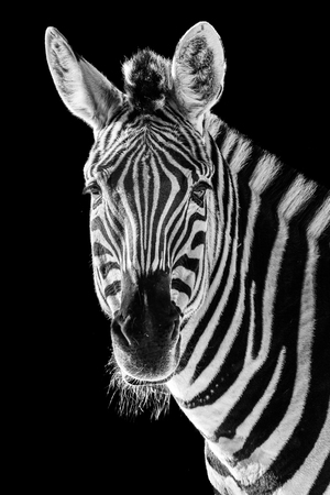 Frontal Portrait of a Zebra Against a Black Background