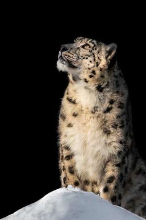 Profile Portrait of Snow Leopard Against Black Background