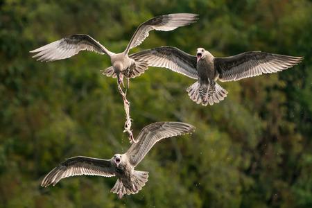 Gulls Fighting Over Remains of Menhaden Fish Stock Photo - 100232647