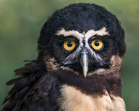 Frontal Portrait of a Spectacled Owl Against a Blurred Green Background