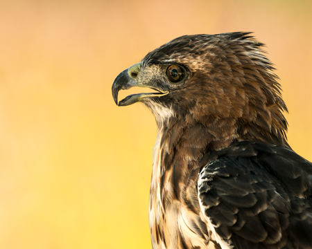 Profile Portrait of a Red-Tailed Hawk Against a Orange Background
