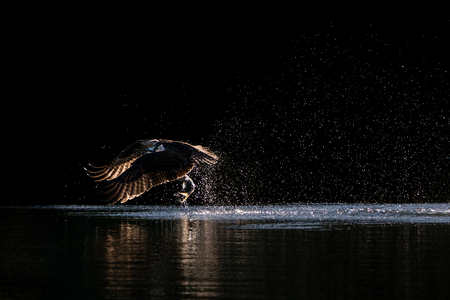 Osprey in Flight Taking Off From Water After Catching a Menhaden Fish Stock Photo - 102004481