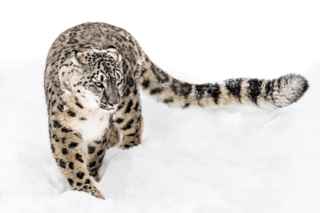 Snow Leopard Walking in Snow with Tail Extended