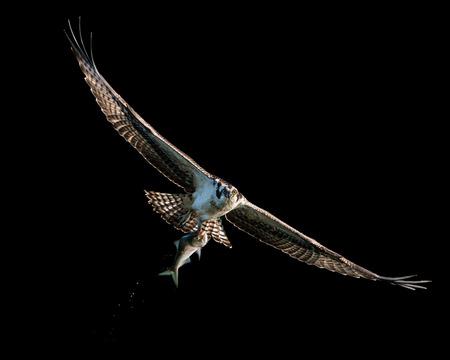 Backlit Osprey in Flight After Catching a Menhaden Fish