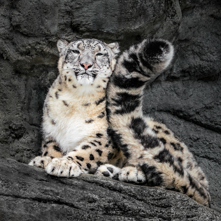 Snow Leopard Resting on Rocks and Curling Up With Its Tail Stockfoto