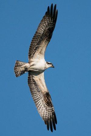 Osprey in Flight Against Blue Sky