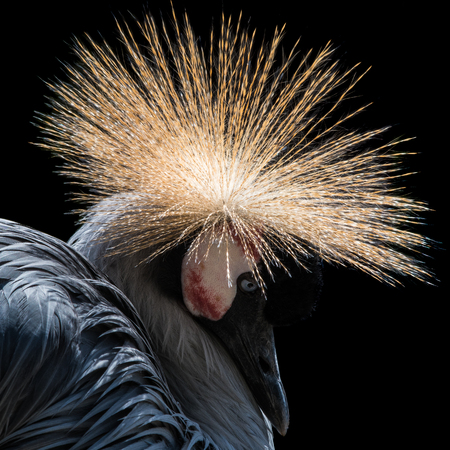 Profile Portrait of West African Crowned Crane