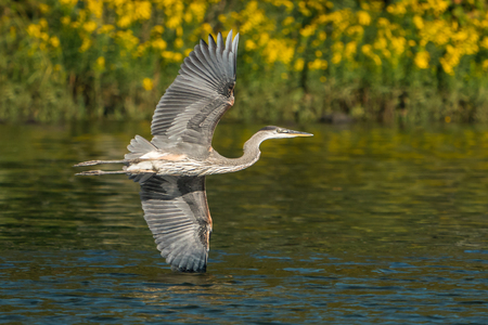 Great Blue Heron Flying Over Water Stockfoto