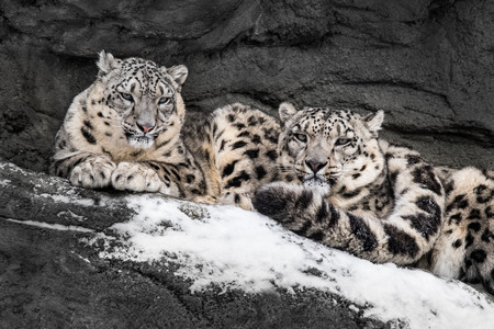 Pair of Snow Leopards Cuddling for Warmth