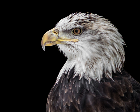 Profile Portrait of an Juvenile Bald Eagle Against a Black Background Stockfoto