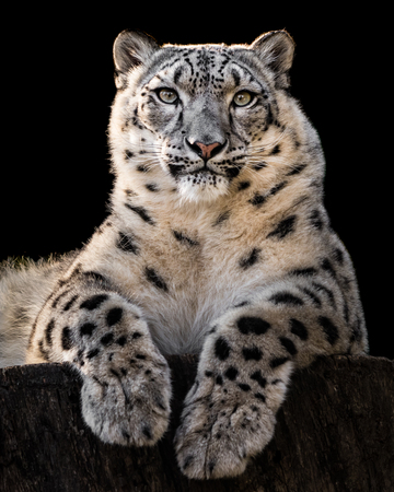 Frontal Portrait of Snow Leopard Against Black Background Stock Photo - 102157926