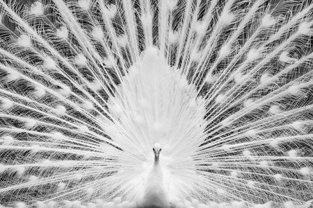 Frontal Portrait of White Peacock Showing Off Full Plumage Stockfoto