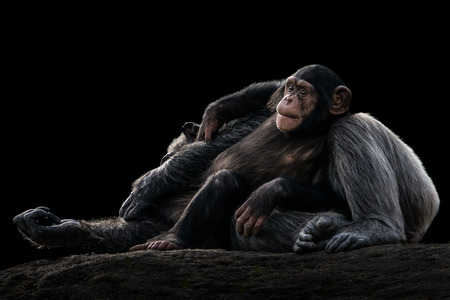 Baby Chimpanzee Resting Against Sleeping Mother Stock Photo - 102004484
