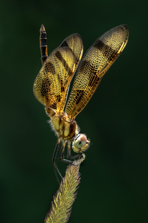 A Pennant  Dragonfly Against a Dark Green Background