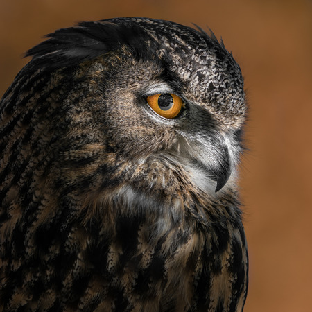 Eurasian Eagle Owl on an Orange Background