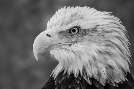 Black and White Profile Portrait of an Juvenile Bald Eagle Against a Mottled Gray Background Stockfoto