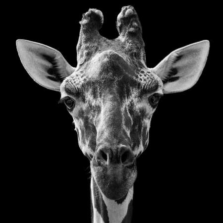 Close Up of a Reticulated Giraffe Against a Black Background Stockfoto