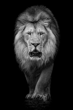 Black and White Portrait of an African Lion