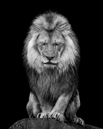 Black and White Portrait of an African Lion WIth Closed Eyes Stockfoto